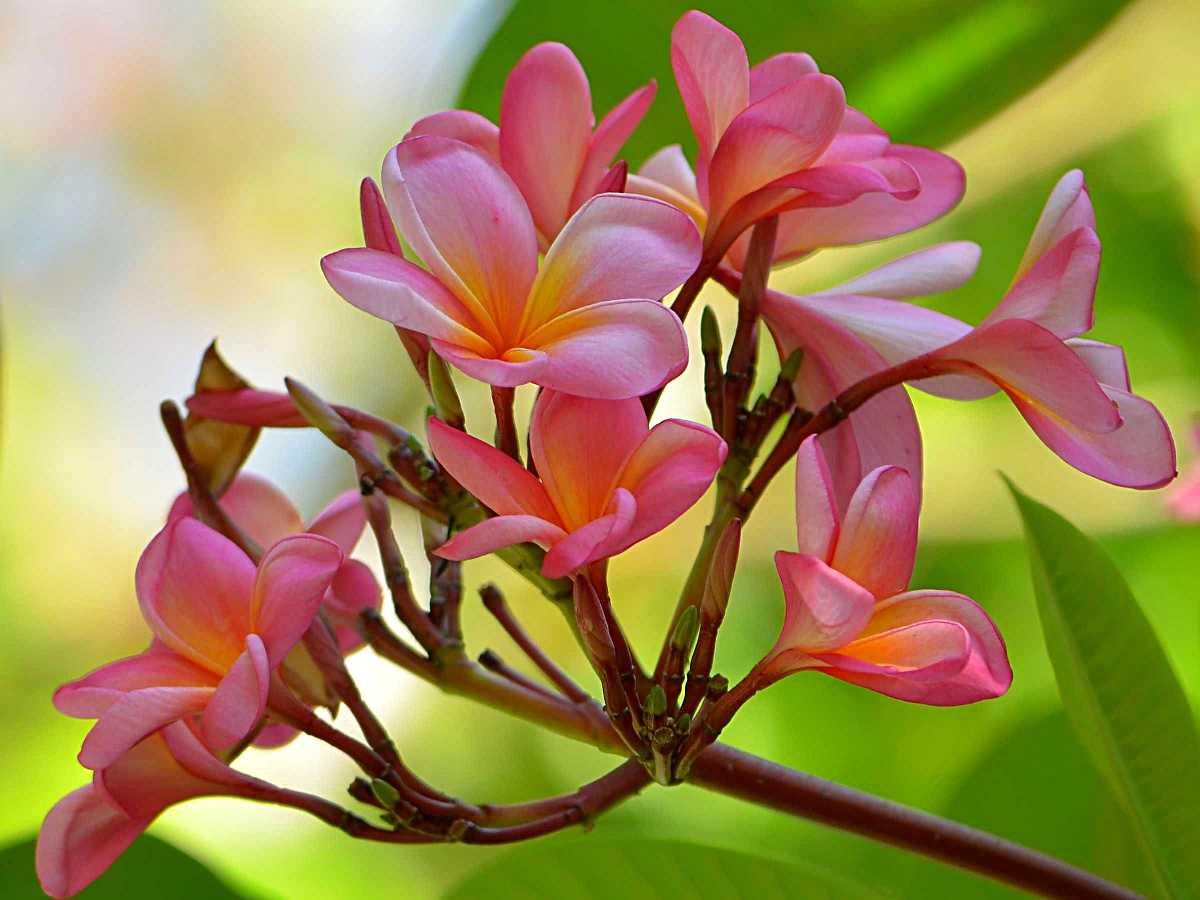 Frangipani in Maldives