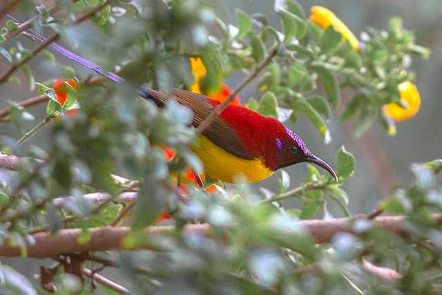 Crimson Sunbird at Kanchenjunga National Park
