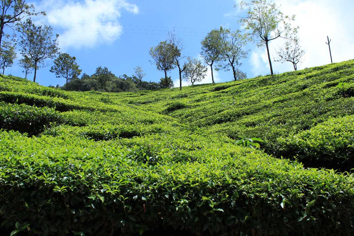 Tea Plantations in Coonoor