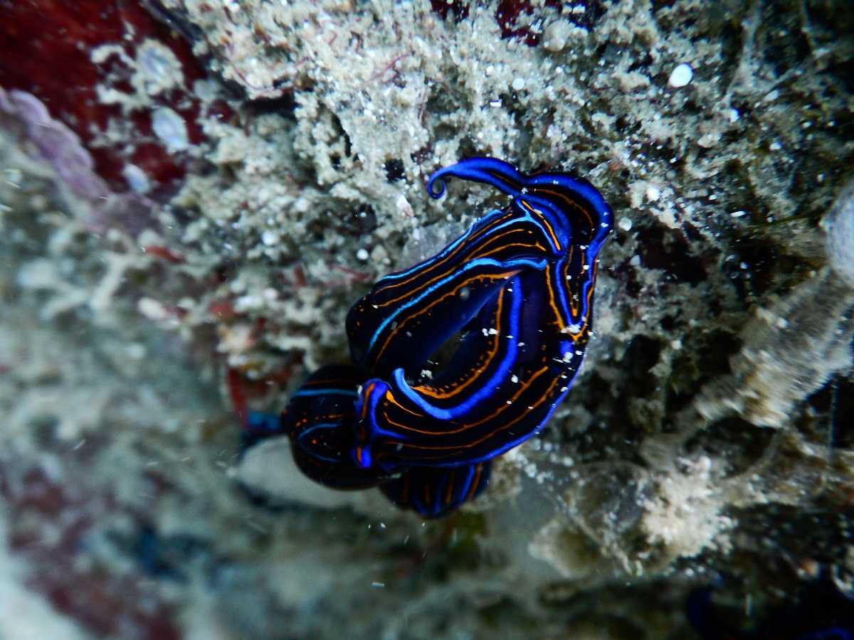 Blue fish sighting at Netran Island