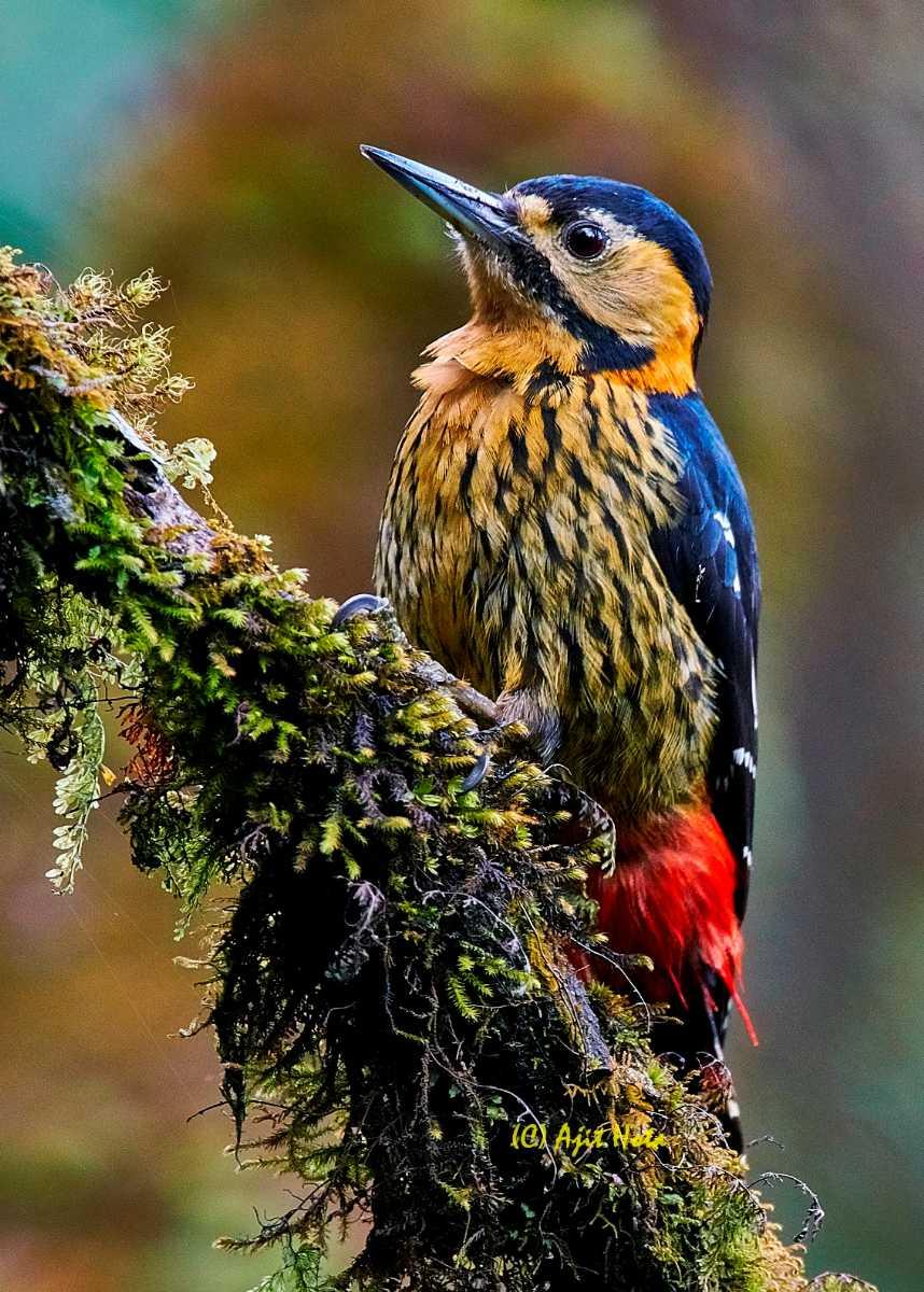 Darjeeling Woodpecker at Singalila National Park