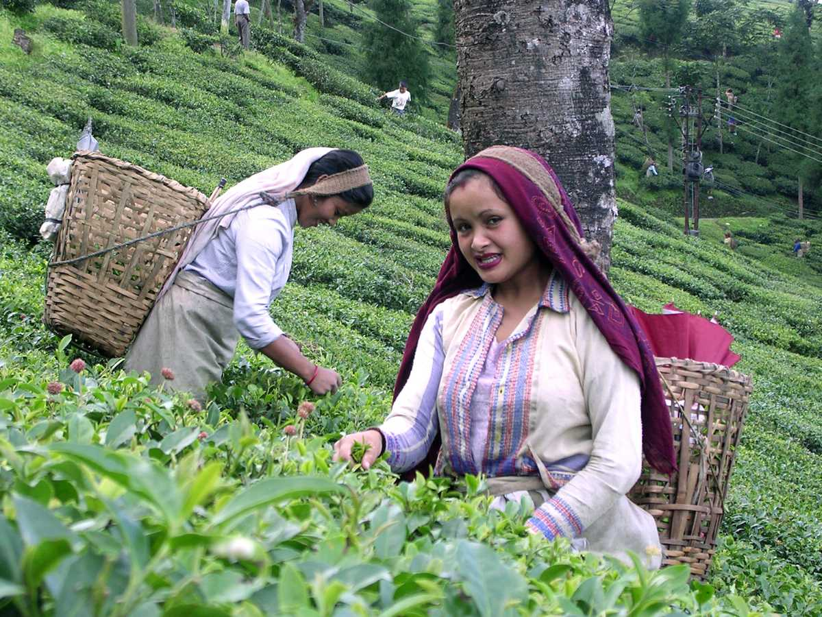 Tea estate workers picking tea leaves