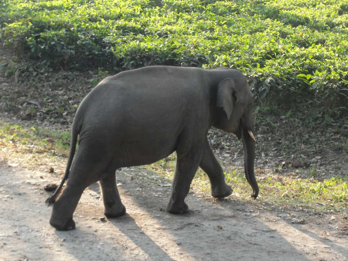 Elephant in Manas
