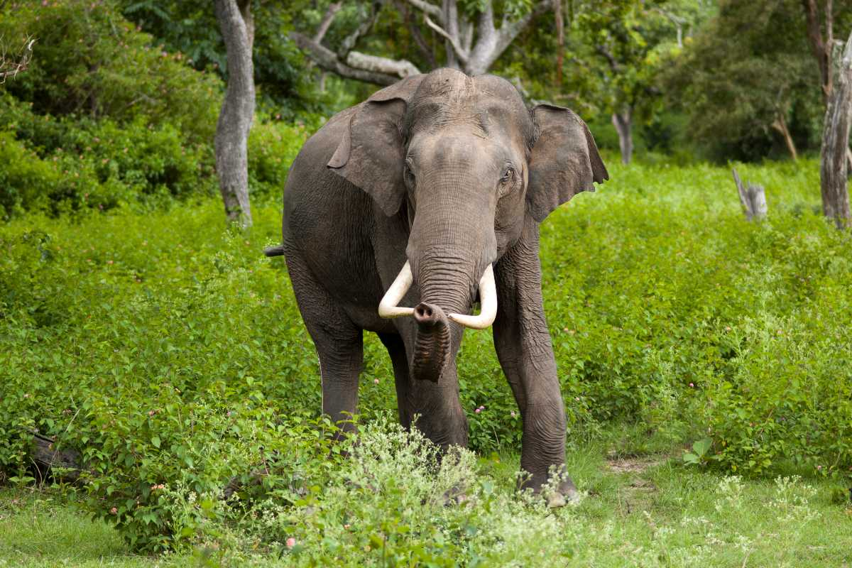 Asiatic Elephant found in Kalesar