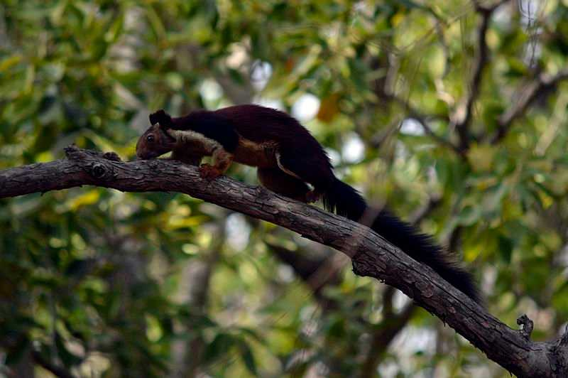 Giant squirrel spotted near Madhai
