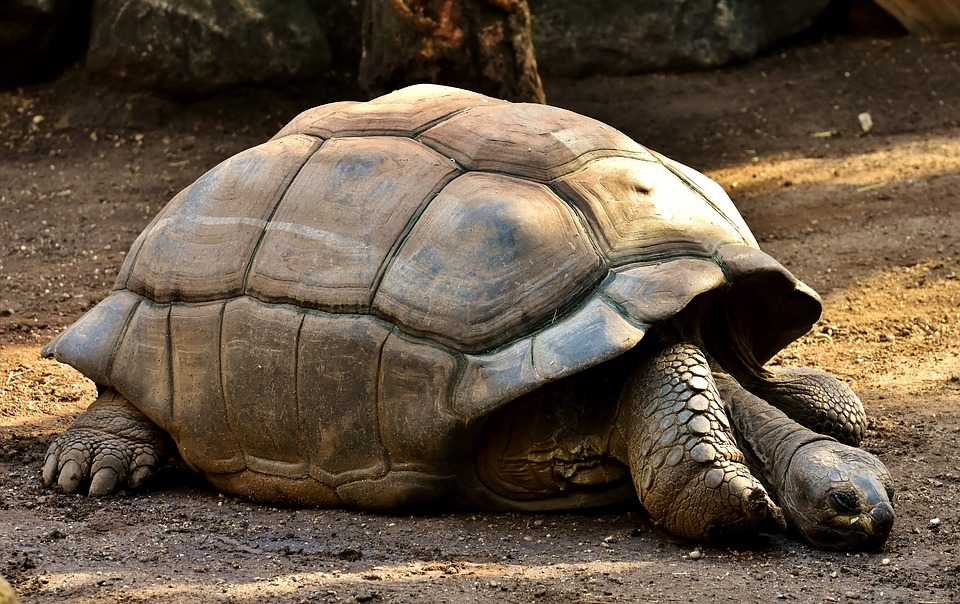 Giant tortoise, Seychelles in December