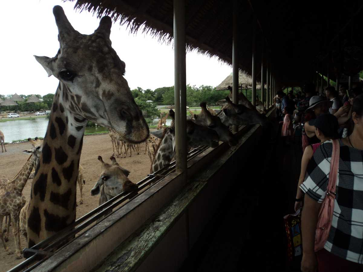Giraffes at Safari Park in Safari World Bangkok