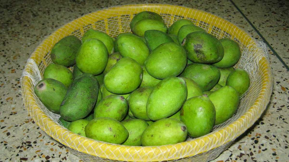 Dashehari Mangoes, Mangoes in India