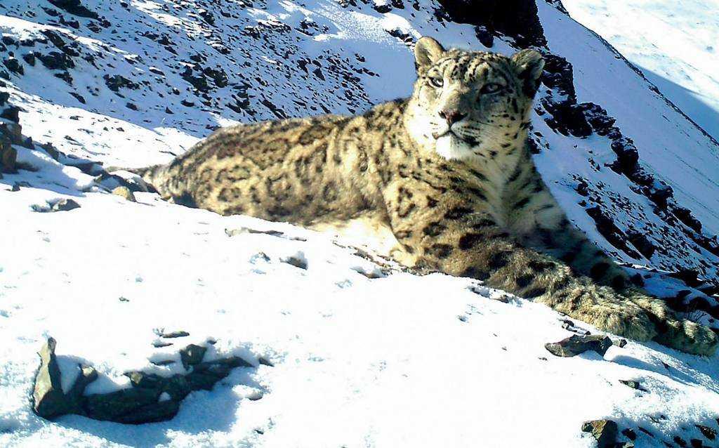 Snow Leopard, Jigme Dorji National Park