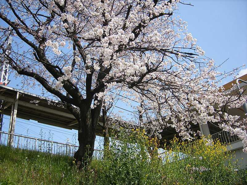 Kyoto, Best Places In The World To See The Spring Blossoms In Its Peak!