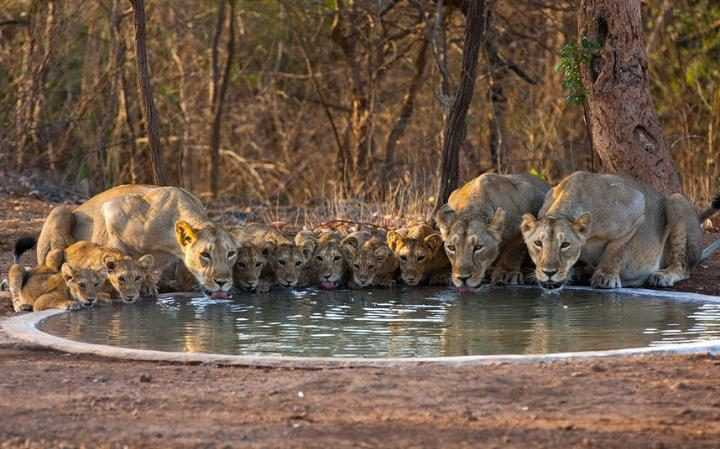 Pride of Lions, Gir National Park