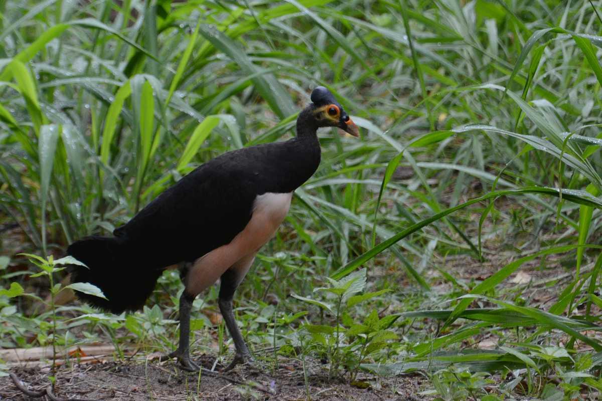 Maleo Bird, Indonesia