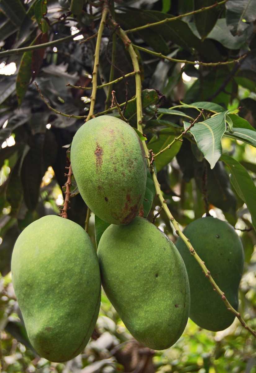 Arumanis Mango