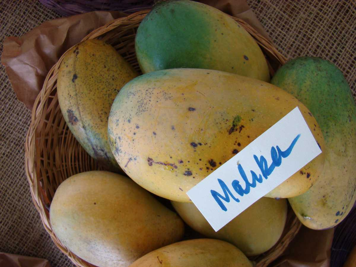 Mallika Mangoes, Mangoes in India