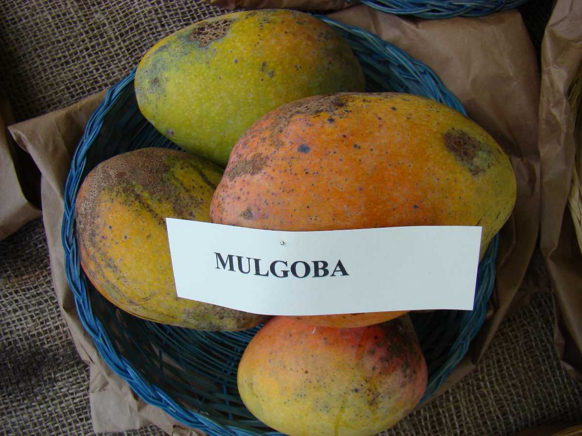 Malgoa Mangoes, Mangoes in India