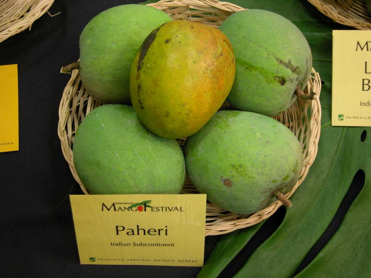 Paheri Mangoes, Mangoes in India