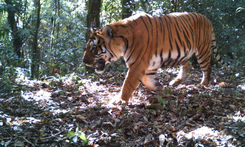 Royal Bengal Tiger, Royal Manas National Park Bhuan