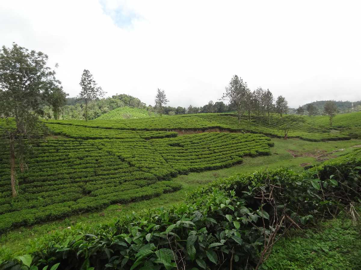 Pallivasal Tea Garden, Munnar (2020) - Images, Timings ...