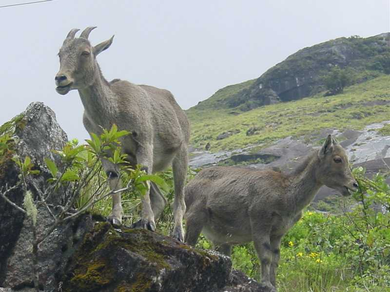 Niltahr in Mukurthi National Park