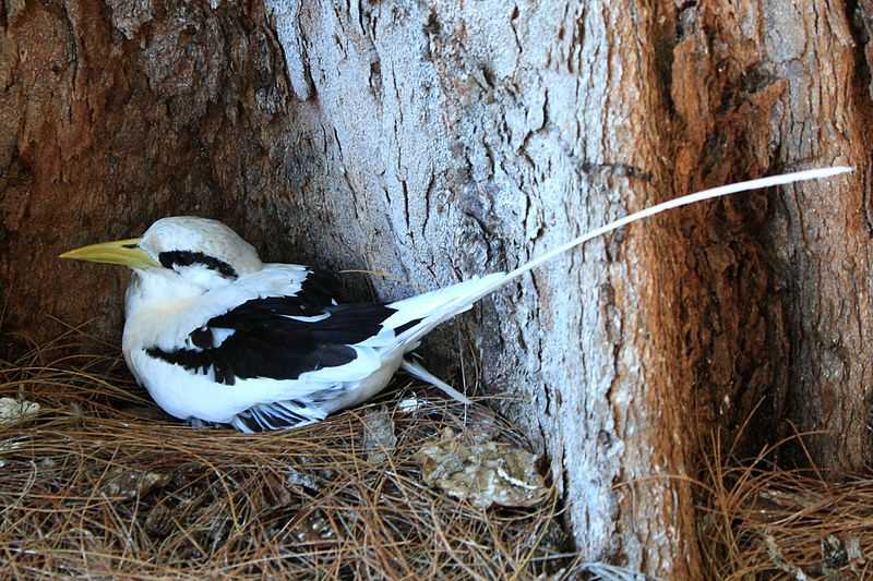 White-tailed tropicbird in Maldives