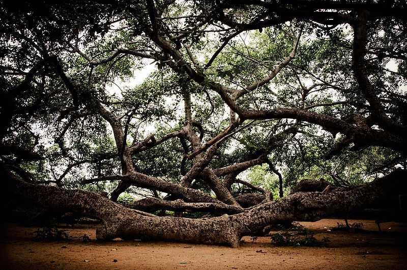 Pillala Marri Tree