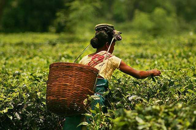 Tea Plantation in