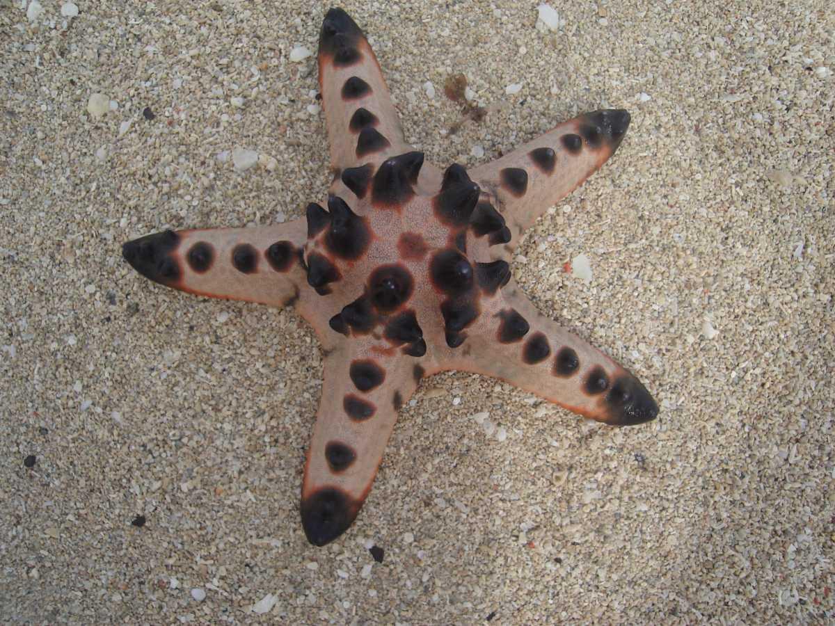 Horned Sea Star, Wildlife in Vietnam