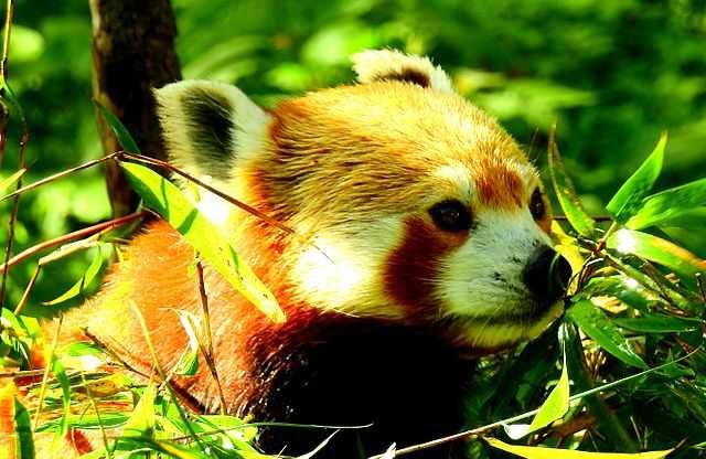 Red Panda at Singalila National Park