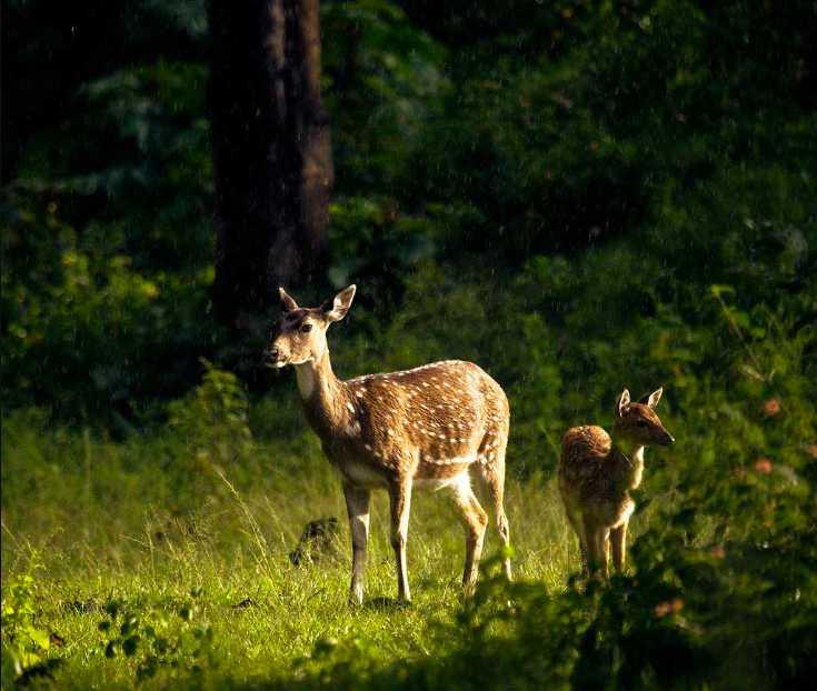 Summer Season, Mudumalai, Deer