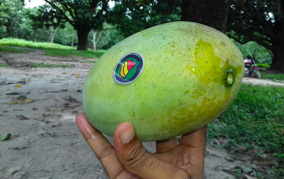 Fazli Mangoes, Mangoes in India