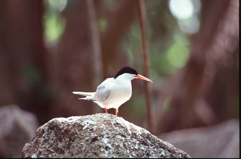 Roseate Tern Bird in Aride Island Seychelles