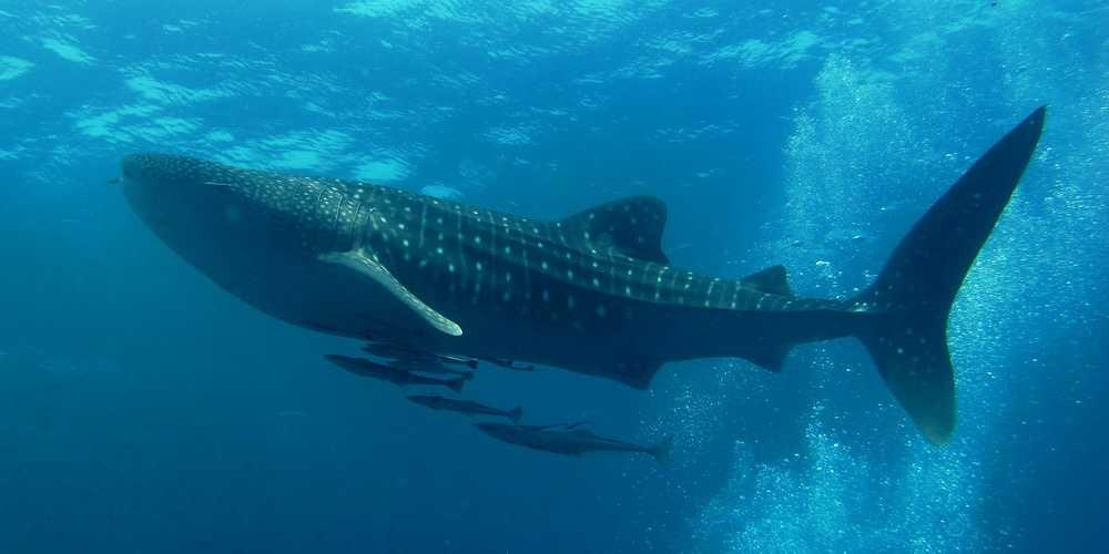 Whale Shark Diving, Thailand