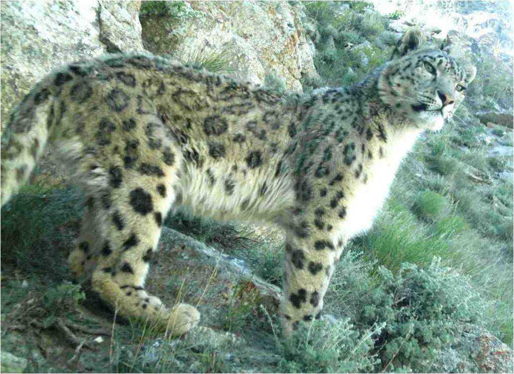 National Parks of Bhutan, Snow Leopard