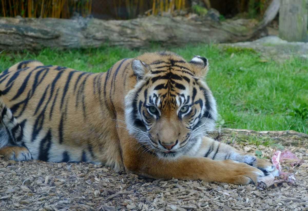 Sumatran tiger at Auckland Zoo