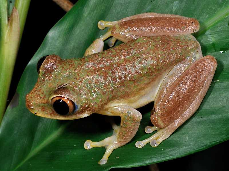 Sogglossidae frog, National Parks of Seychelles