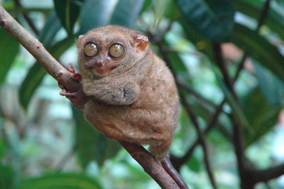 Pygmy Tarsier, Indonesia