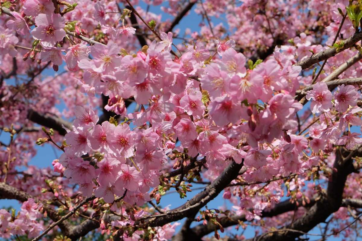 Tokyo, Best Places In The World To See The Spring Blossoms In Its Peak!