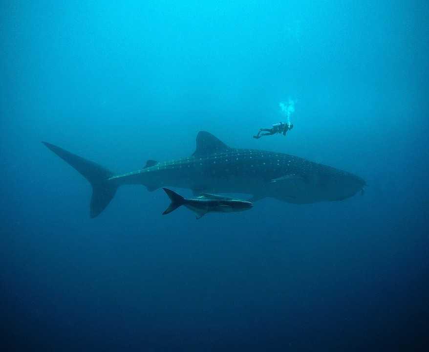 Whale Shark at Hin Daeng Thailand