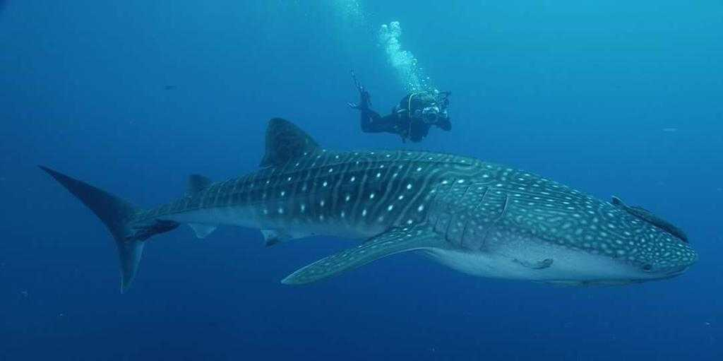 Whale Sharks in Koh Tao, Thailand