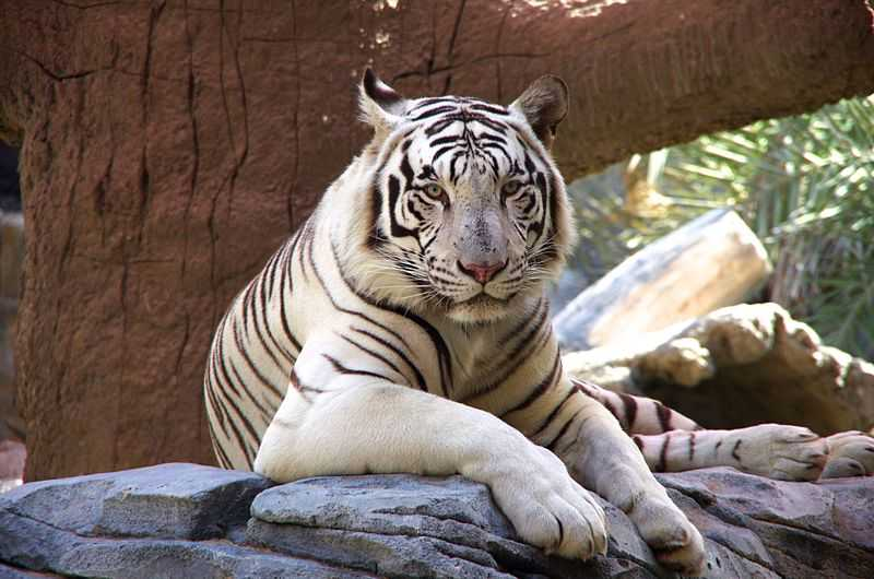White Tiger at the Emirates Park Zoo