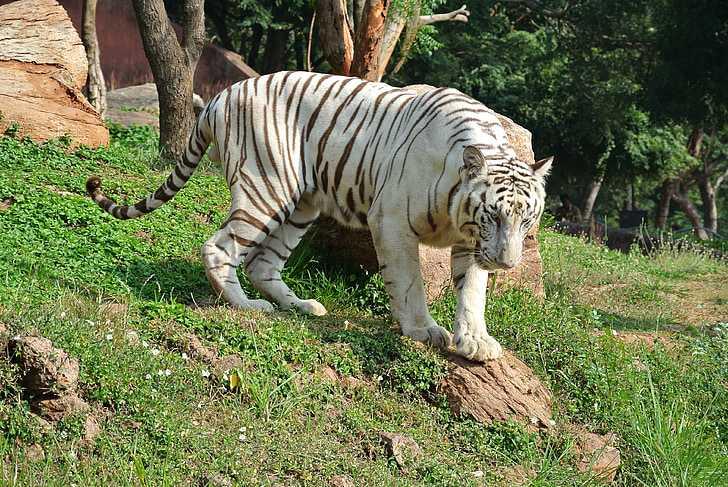 White Tiger at KBR National Park