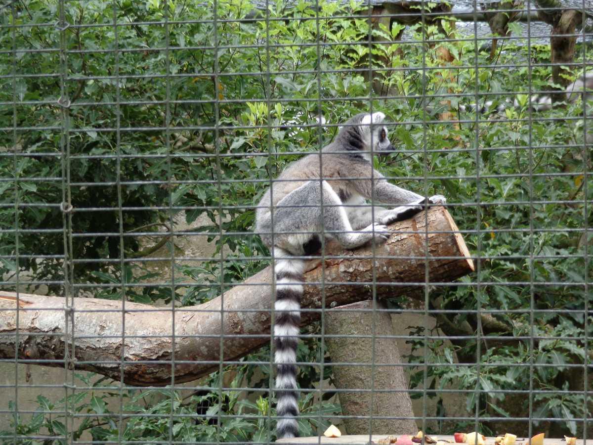 lemur at Willowbank wildlife reserve