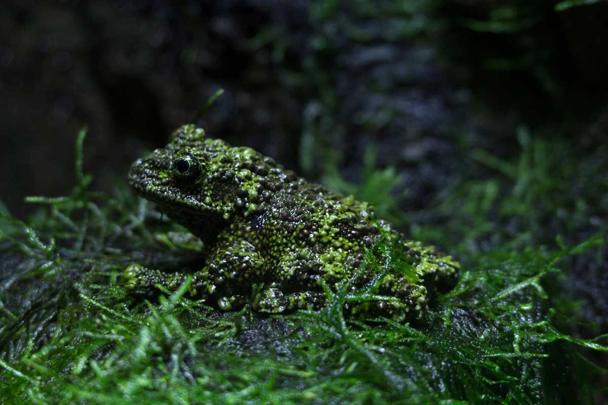 Vietnamese Moss Frog, Wildlife in Vietnam