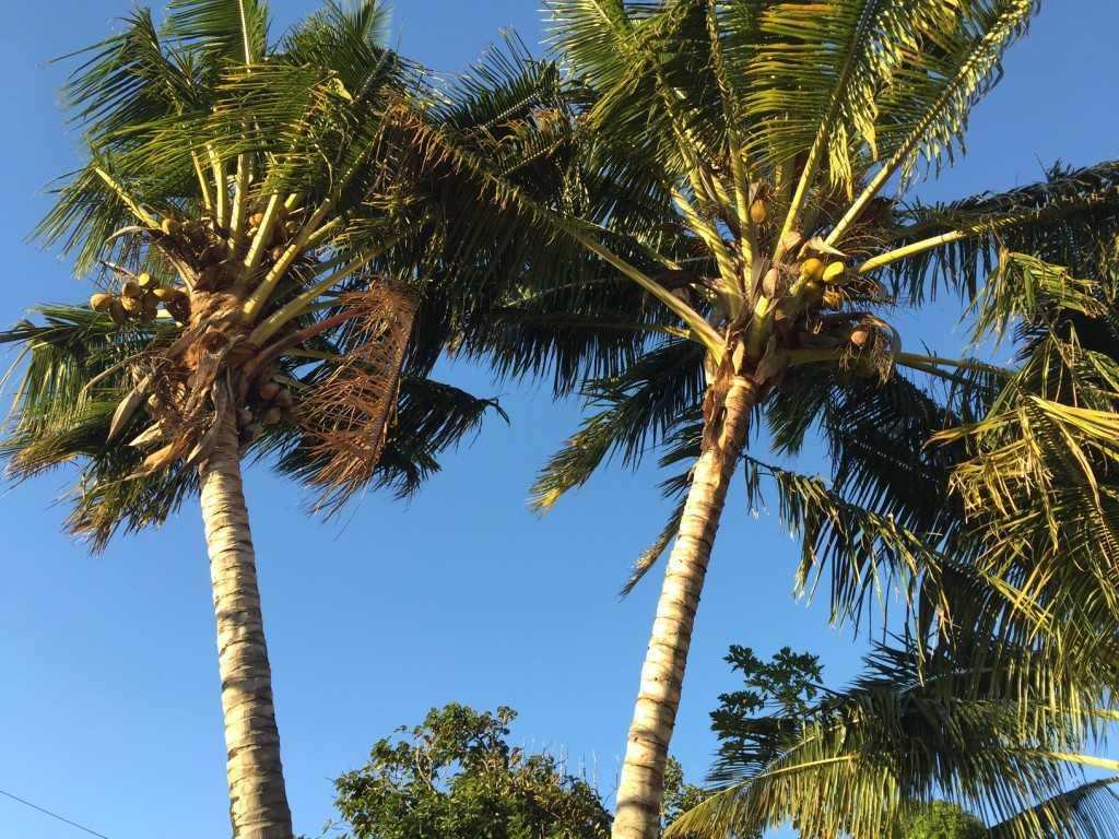 Coconut palm in Maldives