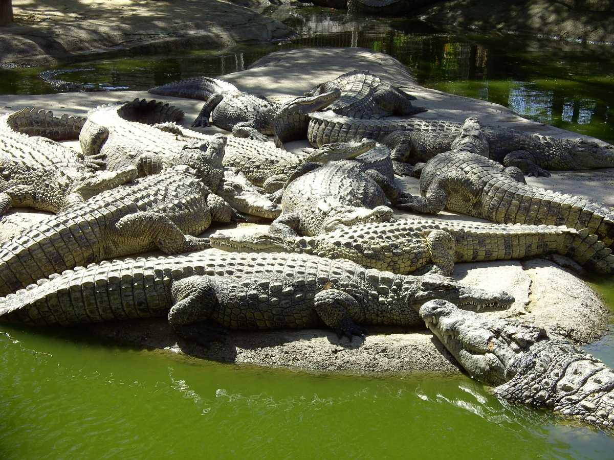 Amo Chuu Crocodlie Breeding Centre