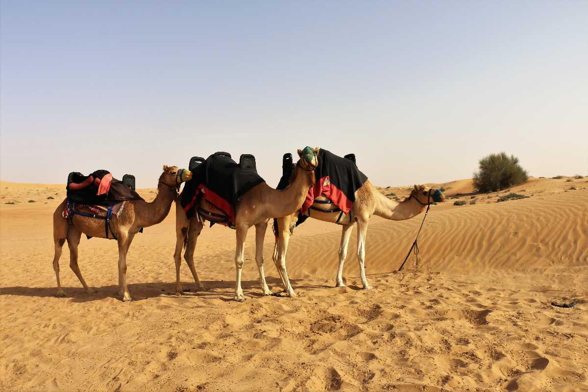 Camel Ride, Desert Safari in Dubai