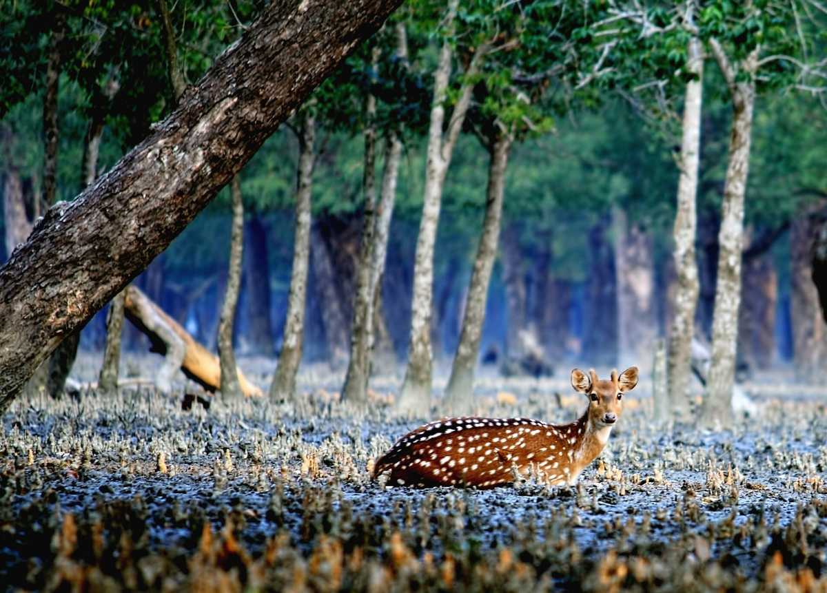 Deer in Sundarbans