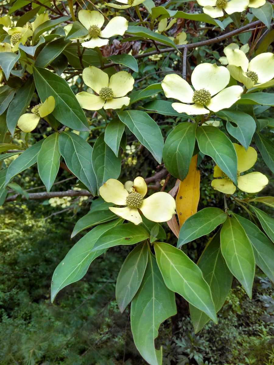 Cornus Capitata in Spring