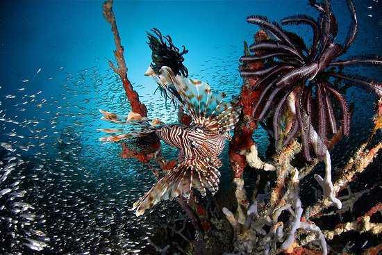 Diving at Baa Atoll in Maldives