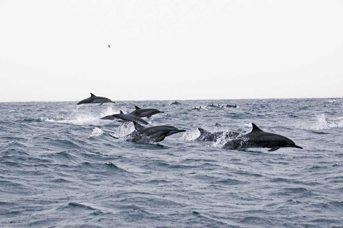 dolphin watching in oman, dolphin